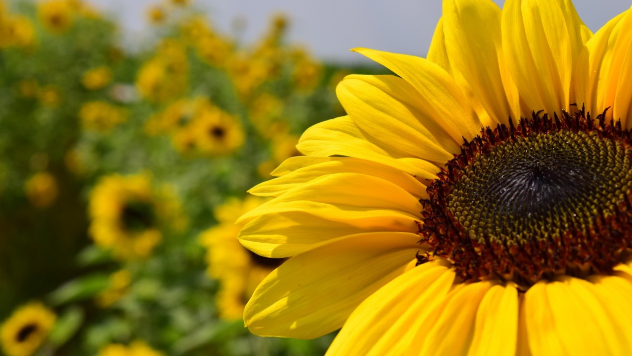 https://institutokailua.com/blog/wp-content/uploads/2019/03/sunflower-1522887_1920-e1470744571337-1260x710-2.jpg